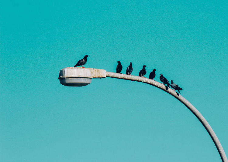 Low angle view of pigeons perching on street light against clear blue sky