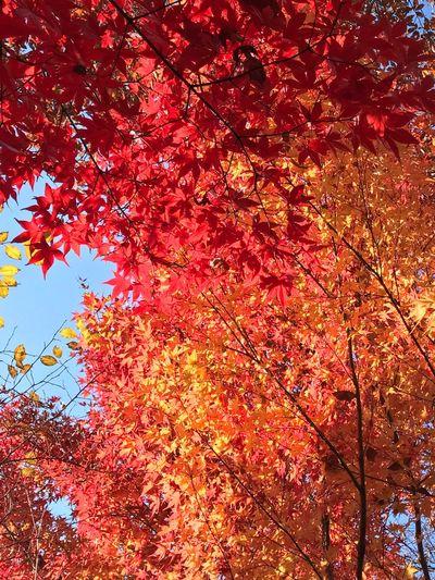 Autumn Autumn Leaves Nature 紅葉 もみじ