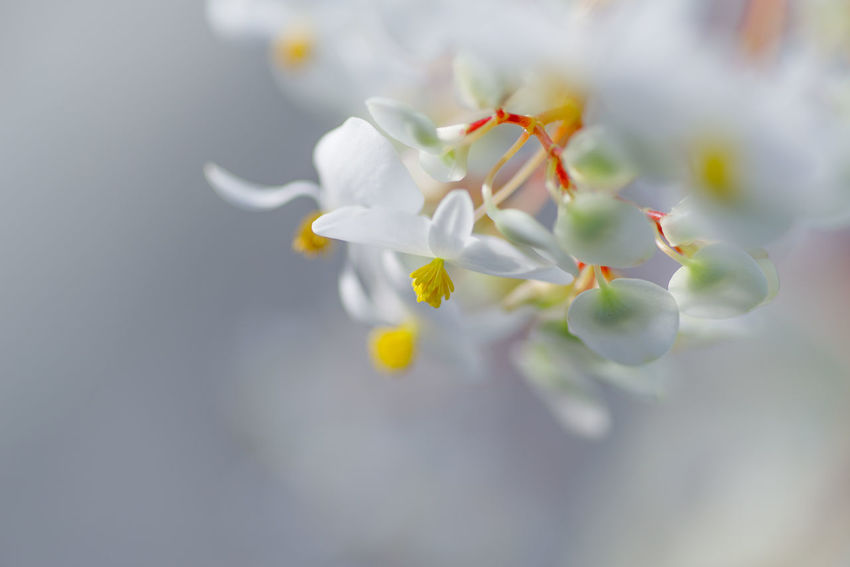 Flowering Plant Flower Fragility Freshness Vulnerability  Plant Beauty In Nature Close-up White Color Petal Growth Selective Focus Nature No People Inflorescence Flower Head Springtime Blossom Outdoors Purity Bright Cherry Blossom ベゴニア
