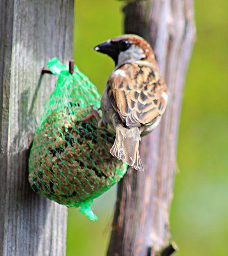 From My Garden Birdwatching Birdphotography Spatz Sparrow Mus Bird Prachtig_limburg