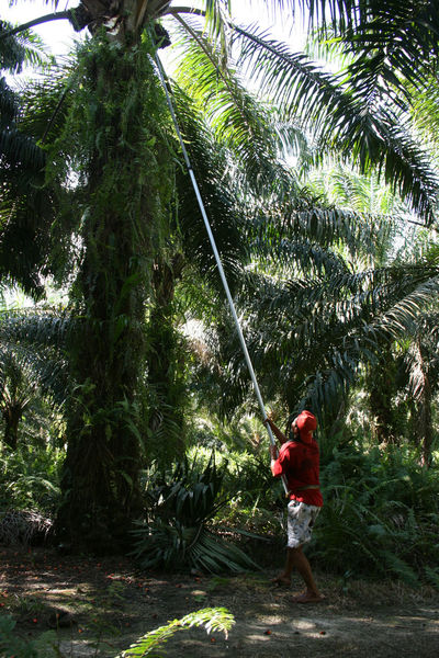 Harvester men on Palm oil planattion in Indonesia Worker Casual Clothing Climate Change Day Ecological Destruction Environmental Conservation Forest Full Length Green Color Growth Harvesting Holding Leisure Activity Lifestyles Men Nature One Person Outdoors Palm Oil Industry Palm Tree Plant Plantation House Real People Standing Tree Tropical Climate