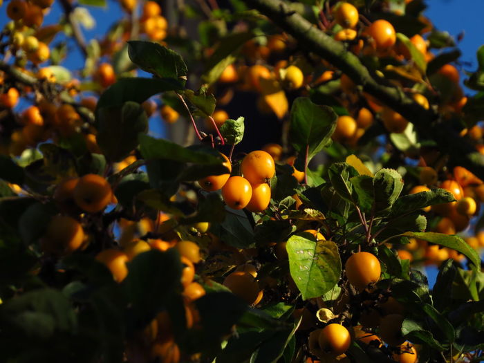 Autumn Autumn Collection Autumn colors Fall Colors Rowanberry Citrus Fruit Fall Season Food Fresh Fruits Freshness Fruit Fruit Tree Fruit Trees Healthy Eating Orange Orange Tree Plant Part Ripe Rowanberries Rowanberry Rowanberry Tree Selective Focus Small Fruit Tree Yellow Fruit