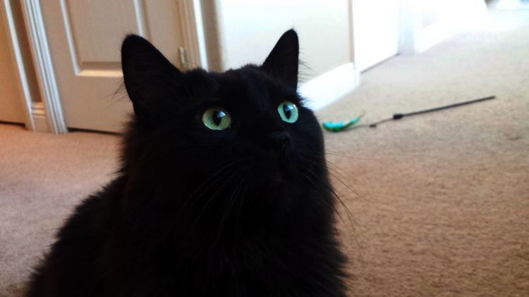 Animal Themes Black Cats Cat Model Cat Silhouette Domestic Animals Feline Felines Green Eyed Cat Halloween Cats Indoors  Longhaired Cats Looking At Me Mammal One Animal Pets Ragdoll Cats Shadow Cat Sitting Pretty Staring Transfixed Window Cat Yellow Eyed Cat