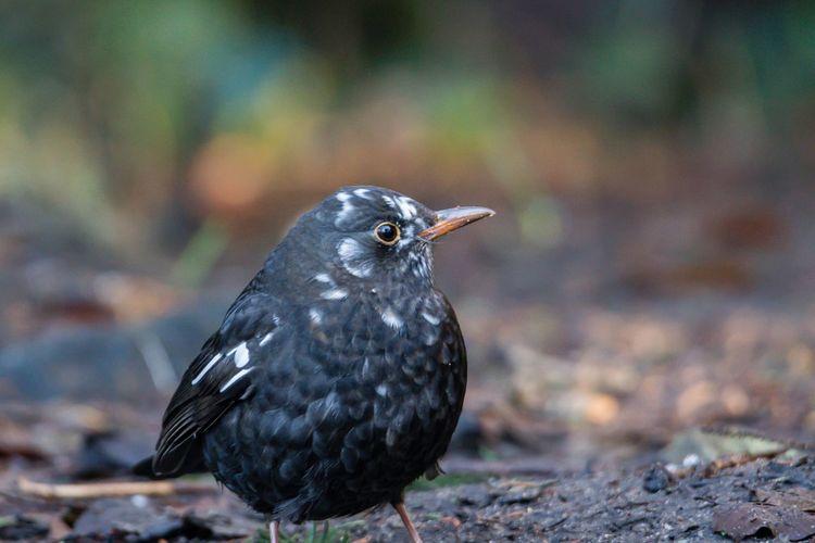 Blackbird - leucism Wildlife & Nature Leuzismus Leucism Blackbird Bird One Animal Animals In The Wild Animal Themes Focus On Foreground Animal Wildlife Day Nature