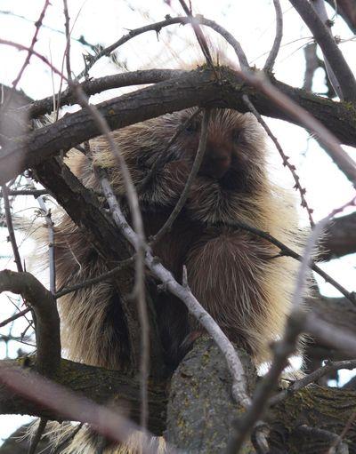 Porcupine Wildlife Nature Taking Photos
