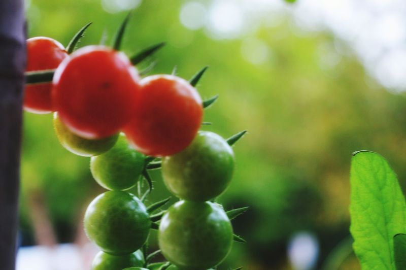 Delish. Tomatoes Nature Outdoors Tree Fruit Red Agriculture Leaf Close-up Green Color Food And Drink Unripe Fruit Tree Ripe Juicy Picking