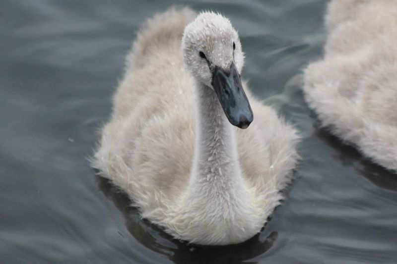 Close-Up Of Cygnets Swimming In Lake
