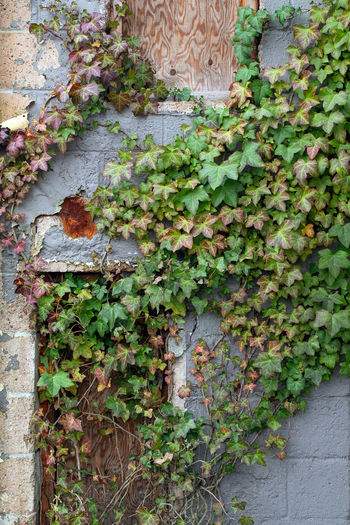 Growth Leaf Plant Part Plant Green Color Ivy No People Day Wall - Building Feature Architecture Creeper Plant Nature Built Structure Outdoors Wall Beauty In Nature Vine Close-up Building Exterior Weathered Ivy Leaves
