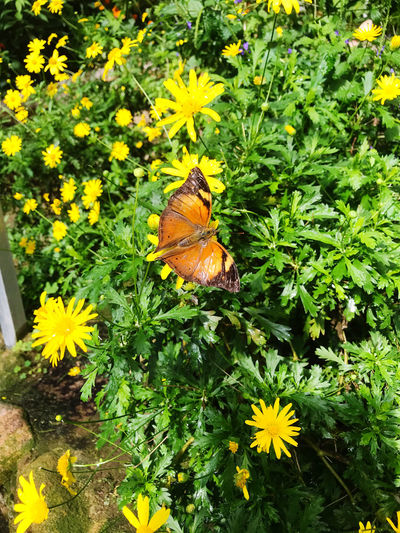High angle view of butterfly pollinating on yellow flower