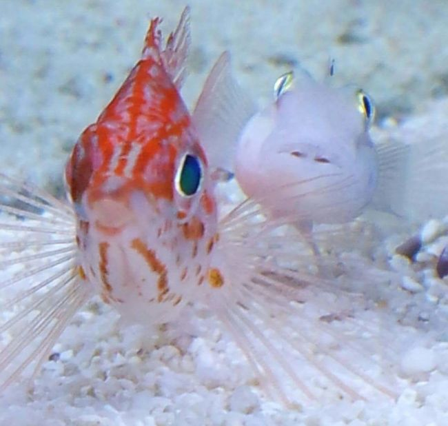 Best Friends 😊 Hanging Out Fish Friends Best Friends Fishy Friends Aquarium Life Aquarium Fish Aquatics Fish Tank Long Nose Hawkfish Chalk Goby Goby Buddies Pets Sealife Unlikely Animal Friends Pals Ocean