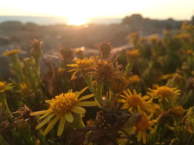 Greece Греция Kalamata каламата Methoni Messinia мессиния Castle Море Sea Закат Ромашки Chamomile цветы Flower Head Flower Sunset Thistle Desert Close-up Sky Plant Landscape