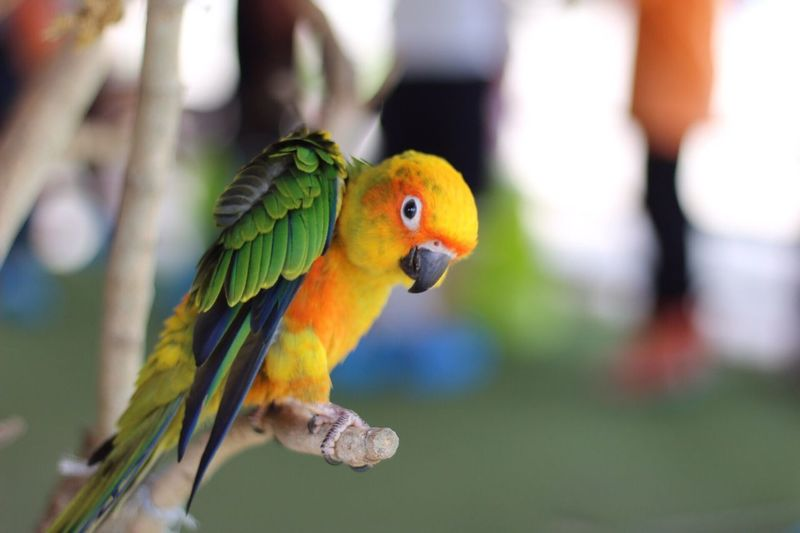 Parrot which