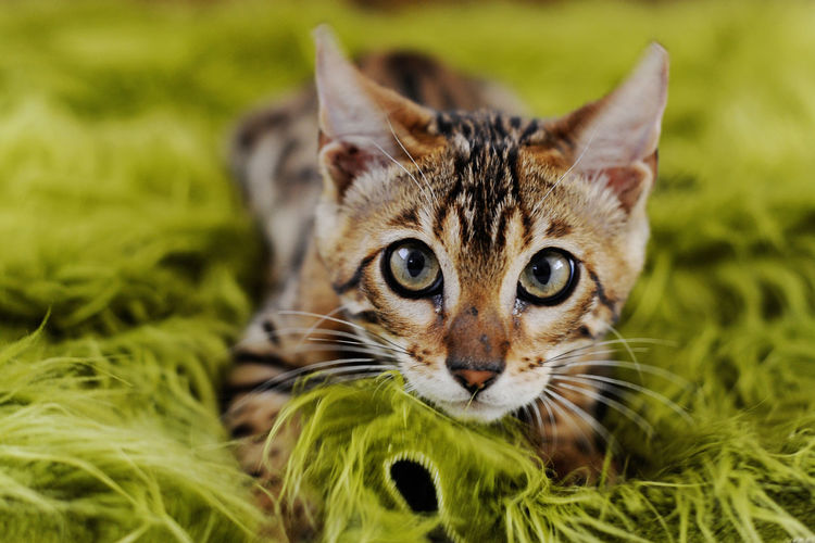 Close-up portrait of tabby kitten lying down on green blanket