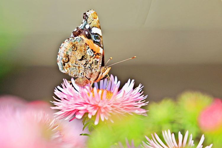 Flower Flowering Plant Insect Animal Themes Close-up Animal One Animal Animal Wildlife Vulnerability  Animals In The Wild Fragility Freshness Flower Head Beauty In Nature Plant Focus On Foreground Butterfly - Insect Animal Wing Pollination Butterfly No People Petal