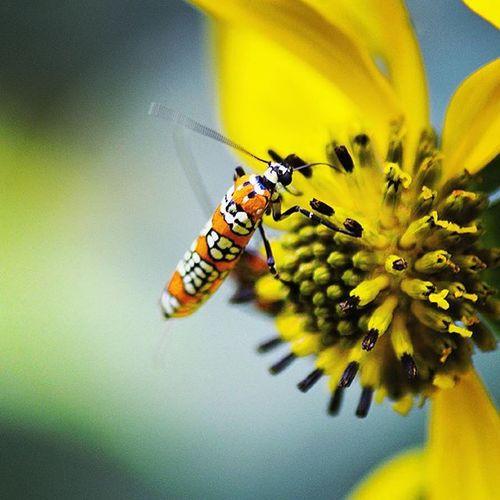 Sweeeeeet nectar. Bug Bugs Insect Cadescove Outside Outdoors Nature Flowers Creepycrawly Macro Zoom 300mm Nikon Nikor DSLR MyDayOff Photooftheday Closeup