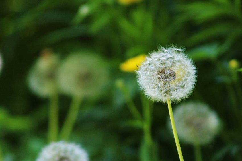 Beauty In Nature Blossom Botany Close-up Dandelion Day Flower Flower Head Focus On Foreground Fragility Freshness Growth Nature No People Outdoors Plant Seed Softness Springtime Uncultivated Wildflower