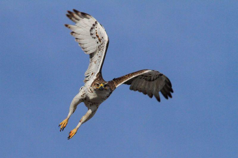 Swainson's Hawk thinks I might be a meal!! Check This Out Bird Photography Birds Of EyeEm  Birds🐦⛅ Birds_collection Wildlife & Nature Raptors Birds In Flight EyeEm Birds Birds