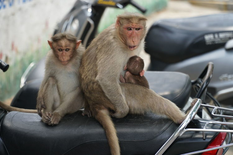 A family of Bonnet macaque monkeys sit on a motorbike outside of Sri Chamundeshwari Temple on Chamundi Hill, near Mysore, India. Animal Themes Animal Wildlife Animals In The Wild Baby Monkey Bonnet Macaque Chamundeshwari Temple Chamundi Chamundihills Close-up Day India Macaque Mammal Monkey Motorcycle Mysore Mysore, India Nature No People Outdoors Sitting Sri Chamundeshwari Temple Transportation Young Animal