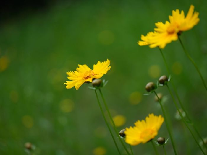Cosmos Sulphureus Flower Flowering Plant Fragility Plant Vulnerability  Freshness Beauty In Nature Yellow Close-up No People Selective Focus Nature Day Flower Head Growth