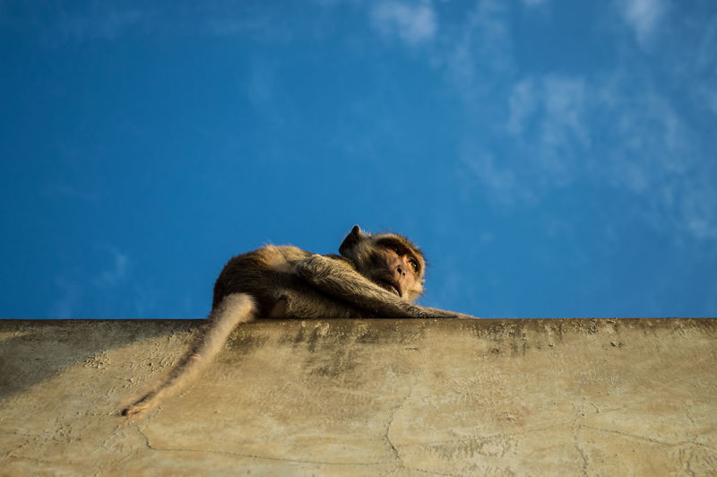 Crab eating macaque monkey or long tail monkey