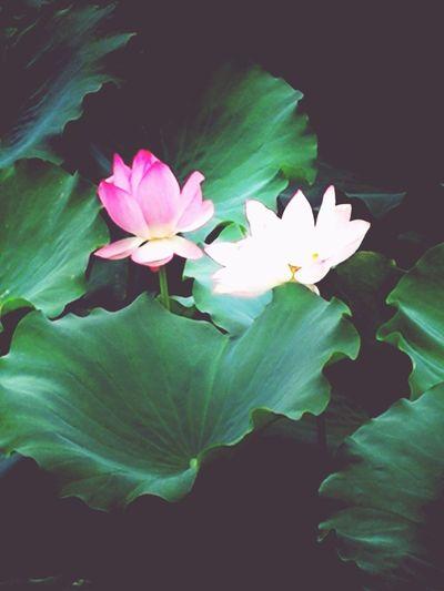 拍于罗南村委会荷花池