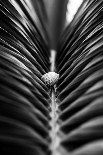 one that stands out Backgrounds Close-up No People Selective Focus Patterns In Nature Patterns Stripes Bnw Bnw In Nature Seed Stand Out From The Crowd Stand Out Different Unique Variation Eyeem Philippines Nature Seed At The Center Patterns Of Leaves Lines Parallel Lines Canonphotography From My Point Of View Photography Themes Black And White Photography Black And White