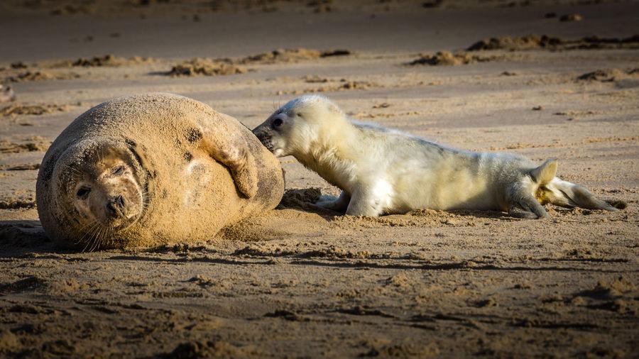 Sheep relaxing on beach