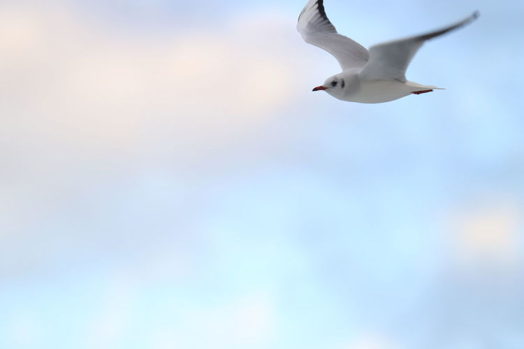 Animal Themes Bird Animal Animals In The Wild Animal Wildlife Flying Vertebrate One Animal No People Sky Spread Wings Low Angle View Nature Motion Day Mid-air Seagull Apulia Italy Italia Puglia Giovinazzo
