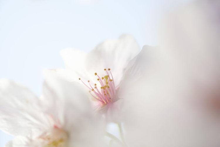 4月の色🌸Cherry Blossoms Macro Cherry Blossoms Nature Flower Taking Photos Spring White Japan Kitakyushu Beauty In Nature Fukuoka EyeEm Best Shots EyeEm Gallery FUJIFILM X-T1 Fujifilm_xseries Soft Focus Softfocus
