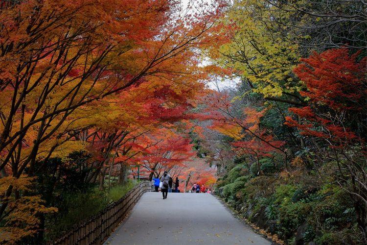 近所の某 植物園 の 楓 の 紅葉 は、こんな感じ。ライトアップは、人が多いからやめた😩🙄🤔 Landscape_photography Landscape Beautiful Nature Japan Photography Naturephotography EyeEm Best Shots Naturelovers Nature