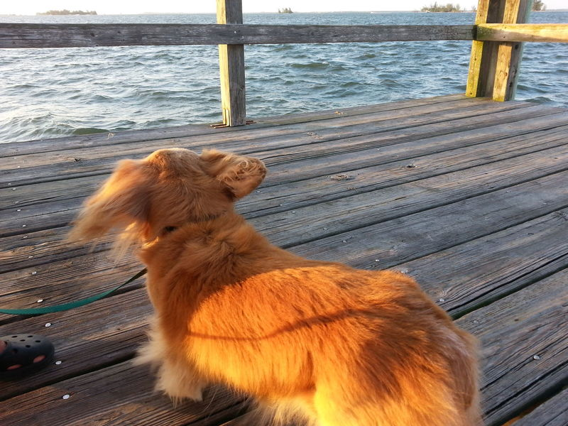 Jack (our Dachshund) Indian River Lagoon