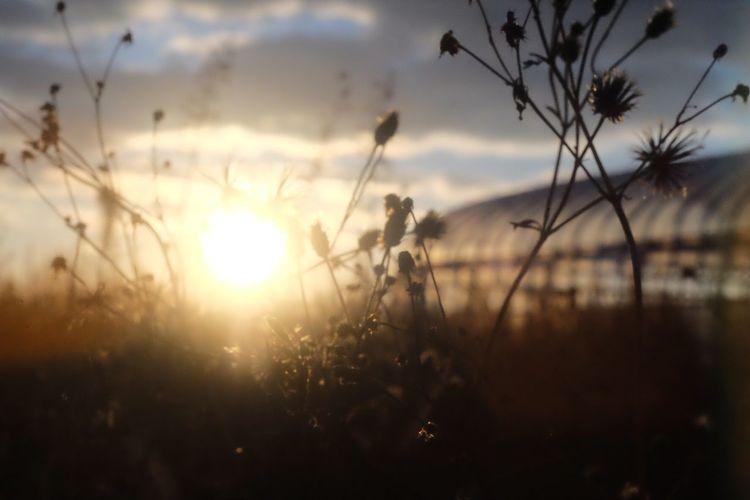 EyeEm Nature Lover Field Sunlight Plant Sun Nature Growth X-M1 Minolta55mm1.7 Morning