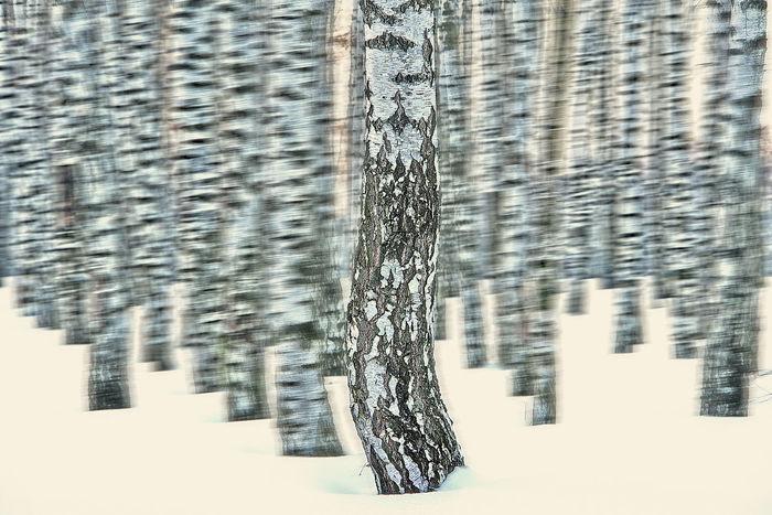 Birch Forrest Birches Birches In Snow Birken Birken Im Schnee Birkenwald Day Frontal View Nature No People Outdoors Schnee Snow Snow ❄ Surreal Tree