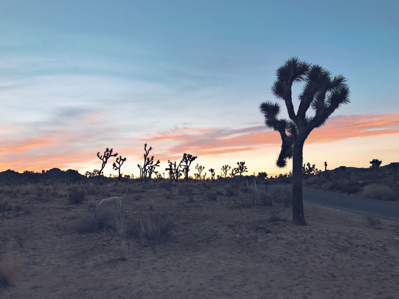 sky, tranquil scene, scenics - nature, plant, sunset, beauty in nature, tranquility, tree, cloud - sky, land, environment, non-urban scene, landscape, nature, no people, desert, field, sand, growth, outdoors, arid climate, climate