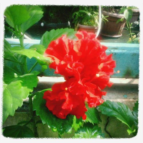 A Gumamela flower in bloom, red and nice!