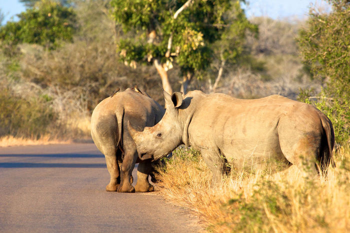 Two male rhinos Endangered Species Kruger Park South Africa Africa Animal Animal Wildlife Animals In The Wild Day Endangered Animals Mammal Nature No People Outdoors Rhino Rhinoceros Road Safari Animals Two Animals Wildlife