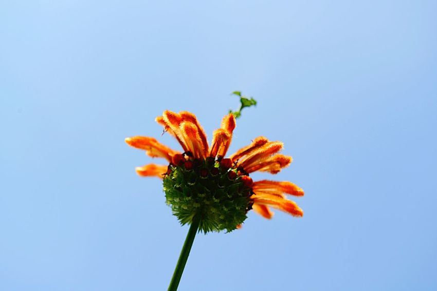 Leonotis Leonurus Lion's Ear Botany EyeEm Selects Plant Growth Flower Fragility Flowering Plant Vulnerability  Nature Freshness Close-up Blue Inflorescence Flower Head Orange Color Petal Day Sky No People Copy Space Low Angle View Beauty In Nature