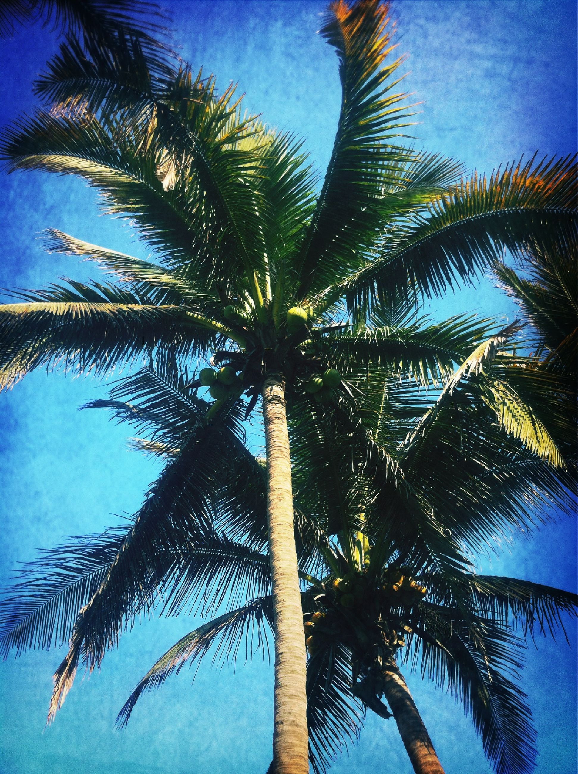 palm tree, low angle view, tree, blue, palm leaf, sky, growth, tranquility, nature, tree trunk, beauty in nature, tropical tree, scenics, coconut palm tree, tranquil scene, palm frond, branch, leaf, tropical climate, silhouette