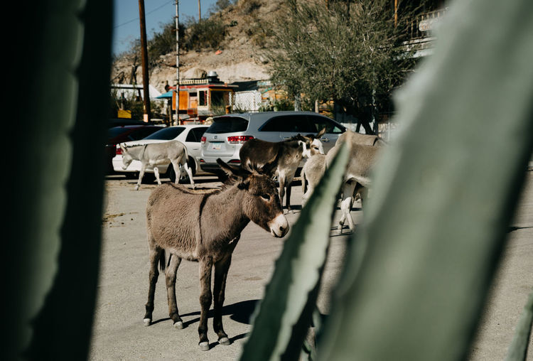 Donkey Western Mammal Animal Themes Domestic Animals Pets Car Motor Vehicle Animal Domestic Transportation Mode Of Transportation Land Vehicle Route 66 City Plant Tree Cactus Road No People Day One Animal Street Oatman Arizona Oatman, Arizona