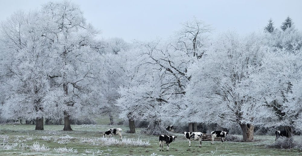 Flock of sheep grazing on field during winter