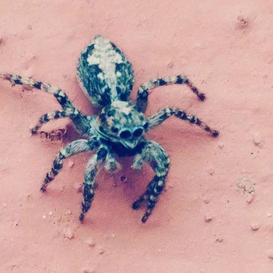 Macrophotography Macro Spider Bigeyes Asuszenfone Phone Photo Nature Fear паук бррр жуть жутькакая макросъемка стена Природа большиеглаза