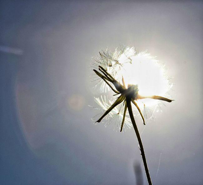 Maximum Closeness Dandelion Dandelion Sunshine Through The Sun Sunbeams Sunset EyeEmNature Lover Godsartwork Eyeem This Week EyeEm Best Shots Thesmallestlittlethings Lens Flare Sunlight Low Angle View Happigramma EyeEm Gallery Iseeinpictures Sunset Focus Object Light And Reflection