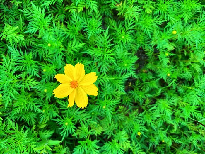 Single yellow cosmos with green leaves. Freshness Spring Cosmos Flower Plant Green Color Growth Freshness Beauty In Nature Vulnerability  Flower Head High Angle View No People Leaf Nature Petal Yellow Fragility Flower Field Plant Part