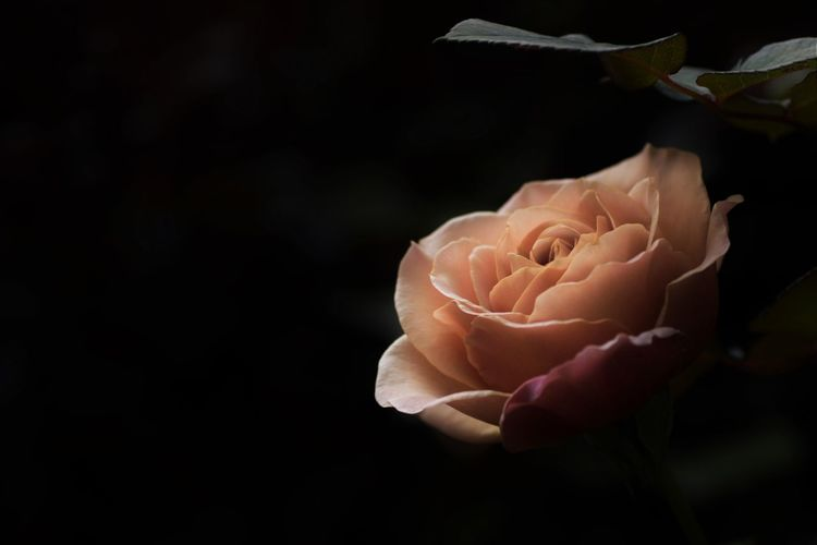 Close-up of rose against black background