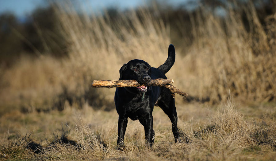 Black Labrador Retriever dog Animal Theme Animal Themes Black Black Lab Canine Day Dog Field Lab Labrador Retriever No People One Animal Outdoors Retriever
