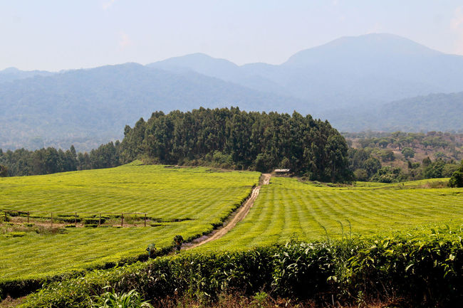 Agriculture Beauty In Nature Clear Sky Day Farm Field Grass Green Color Growth Landscape Mountain Mountain Range Nature No People Outdoors Rice - Cereal Plant Rice Paddy Rural Scene Scenics Sky Tea Plantation  Terraced Field Tranquil Scene Tranquility Tree