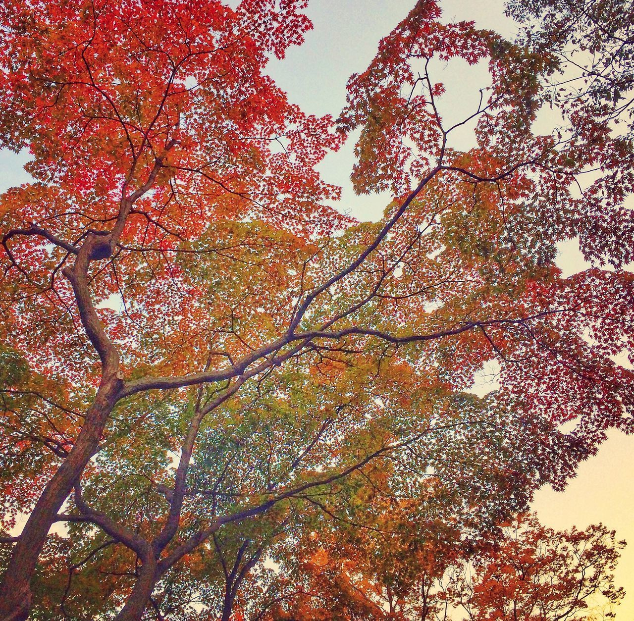 LOW ANGLE VIEW OF FRESH AUTUMN TREE AGAINST SKY
