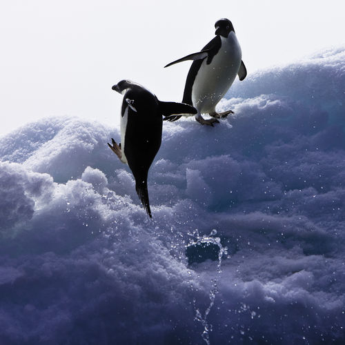 Penguins playing in snow