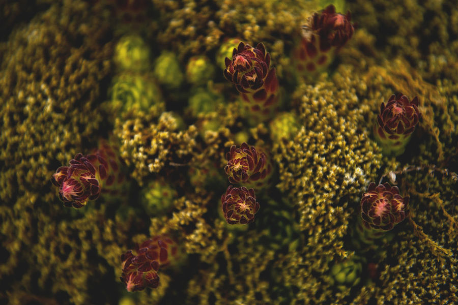 Botanical series: Micrology / Shot with Nikon D800E Alpine Berg-Hauswurz Ctenidium Molluscum Green Growth Jovibarba Micro Plants Thymus Citriodorus Zitronenthymian Zypressenschlafmoos Alps Botanical Chalk Comb-moss Close-up Fragility Lemon Thyme Macro Micrology Mini Mountain House-leek Mountain Plants Peat Moss Selective Focus Sempervivum Montanum