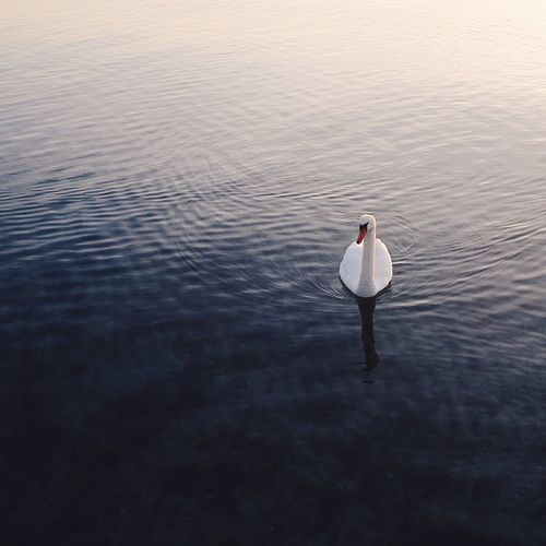 Lonely Swan at sunrise, Denmark Beauty In Nature Bird Calm Calm Water Nature Outdoors Quiet Quiet Moments Sea Swan Swans Water Water_collection